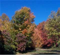 A tree in autumn; Actual size=240 pixels wide